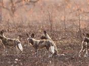 perros salvajes africanos votan ediciones cruciales manada estornudando