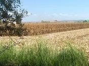 Adios maíz... seas!