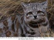Encontrar Jacobo: gato andino cautiva conservacionistas