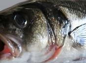 lubina, pescado reservado fechas especiales