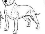Características físicas Pitbull terrier
