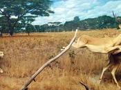 animales terrestres rápidos mundo