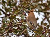 Irrupciones aves, producción semillas cambio climático
