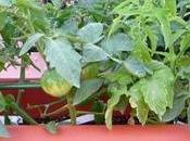 Tomates, plagas, enfermedades, semilleros