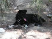 Kyla (cruce labrador hembra adopción)