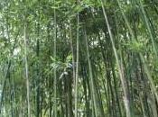 eres como bambú, parecerás este paso