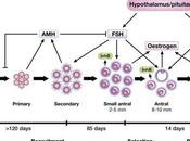 Hormona Antimülleriana (HAM)