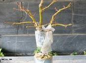 Acer Palmatum acodo aereo
