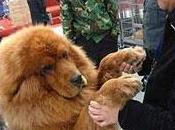 Hong Dong, perro caro mundo