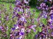 Salvia (Salvia officinalis)