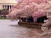 Flor Japón, Sakura Cerezo