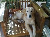 Golden retriever adopción llevan perrera! Mallorca.