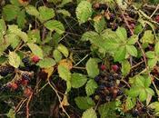 Frambueso (Rubus idaeus)