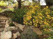 Kerria japonica 'Pleniflora': Nada exigente, resistente, sana, florífera... lujo fácil!