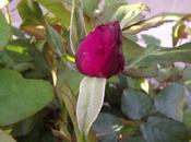 Preparados, listos, ya!! rosas, poesía!!