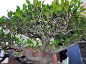 Ficus Retusa 2018
