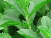 Todo sobre Stevia, planta cura