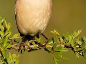 Laniidae. shrikes. alcaudones
