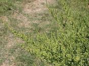 Acelga (Beta vulgaris)