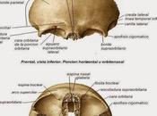 Estructura hueso frontal