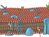 Componentes membrana celular