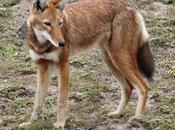 lobo etíope, cánido peligro extinción