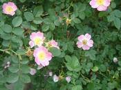 Rosa eglanteria Clematis jackmanii