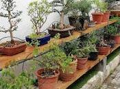 Associació bonsai Vallès: trabajos alambrado Junípero