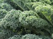 Trucos para cultivar Kale (Col Rizada)