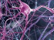 Descubren nuevo tipo neuronas