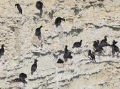Cormorán cuello negro (Phalacrocorax magellanicus)