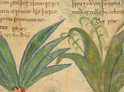 Manuscrito ilustrado hierbas medicinales 1000 años