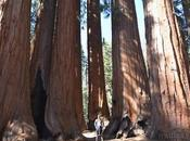Sequoia National Park-Caminando Bosque Gigante