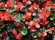 Begonias perfecto estado
