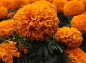 Flor cempasúchil