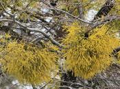Farolito chino (Misodendron punctulatum)