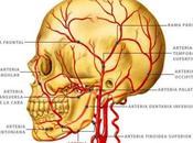 Arterias cabeza cuello
