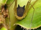 Araña cabeza perro
