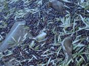 Ecologistas piden prohibir recolección aceitunas