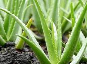 Todos secretos para cultivar Aloe Vera casa