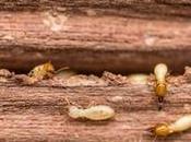 ¿Cuántas especies termitas España?