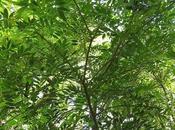 Bugre (Lonchocarpus nitidus)