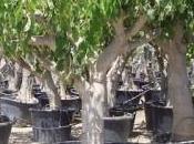 chirimoyo: Árbol chirimoya
