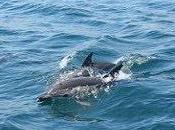 Doñana cataloga delfines comunes Bahía Algeciras