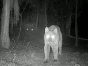 Video: captan puma cazando alguna sierra Luis Potosí