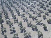 Grupos investigación ofrecen nuevos servicios para olivar