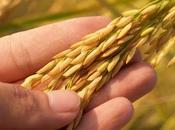 Arroz: valor nutricional tipos arroz