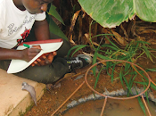 Hongos modificados genéticamente contra malaria