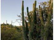 Cactus Uruguay: candelabro