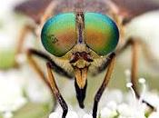 Philipomyia aprica (Meigen, 1820)